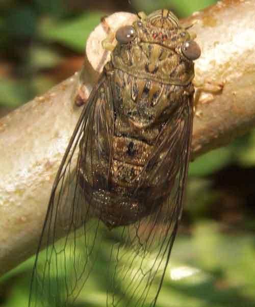 Dundibia feae