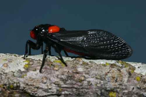 Huechys sanguinea1