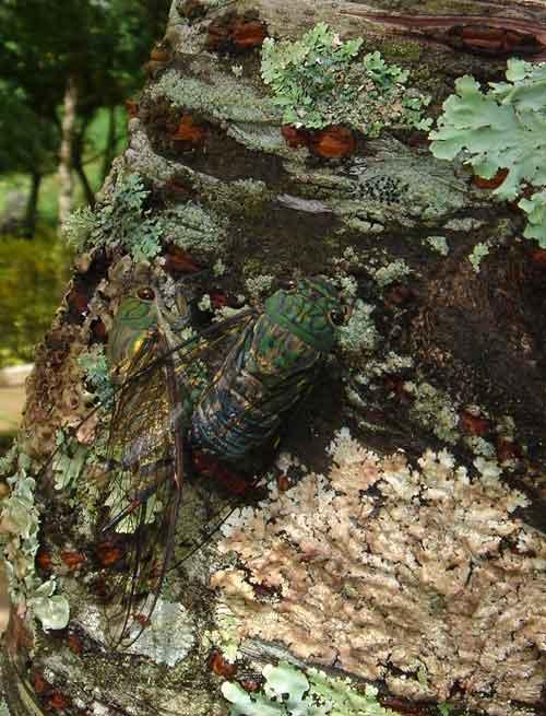 Orientopsaltria-fangrayae