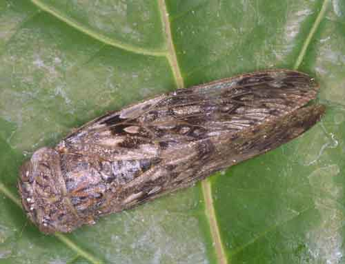 Platylomia mokansis