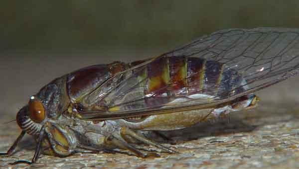 Platylomia sp 1
