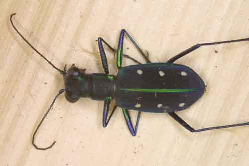 Calochroa flavomaculata