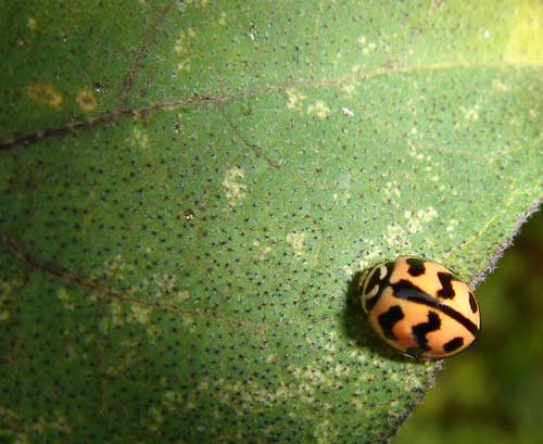 Monochilus sexmaculatus