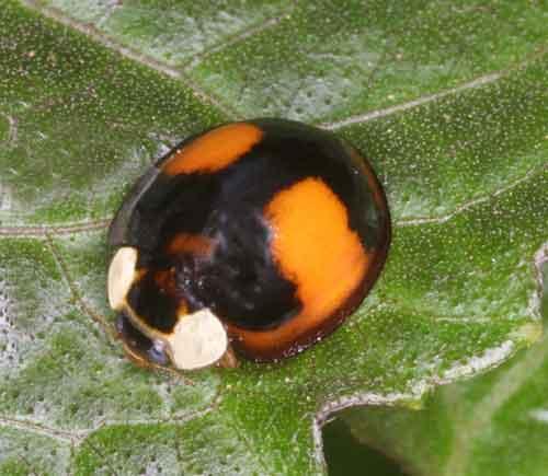 Coelophora saucia (Mulsant) or C. biplagiata