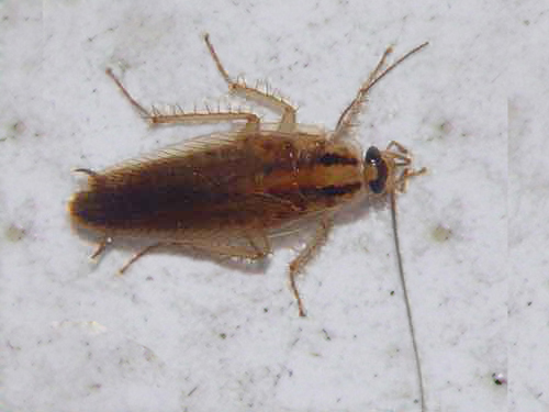 Blattodea (cockroach)
