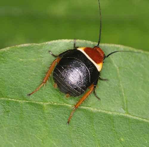 Blattodea (cockroach) 1