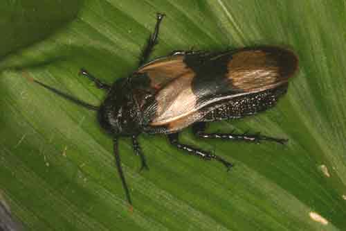Blattodea (cockroach) 2