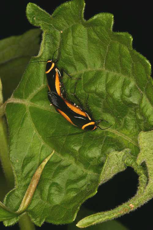 Blattodea (cockroach) 4
