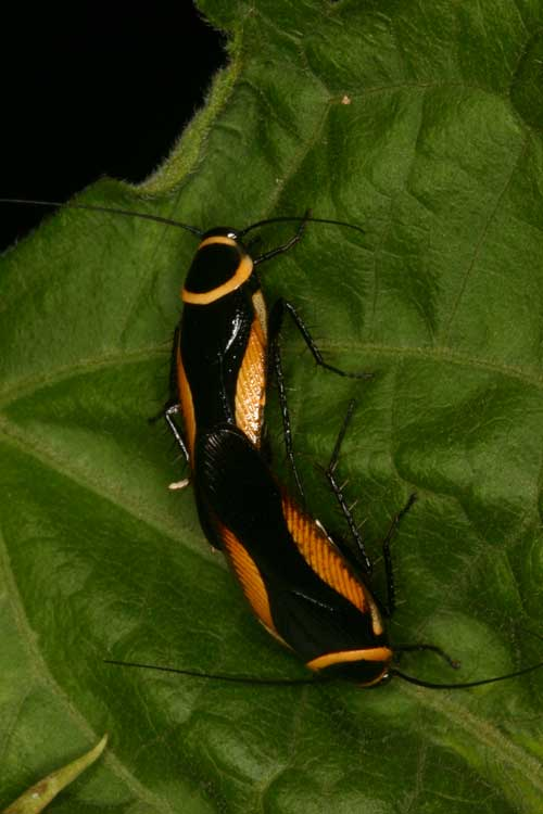 Blattodea (cockroach) 5