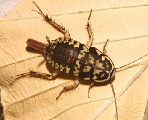 Blattidae Neostylopyga rhombifolia