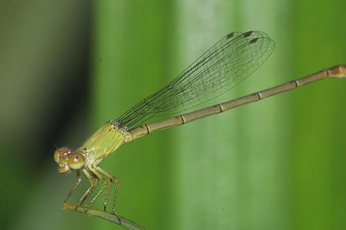 Ceriagrion species f