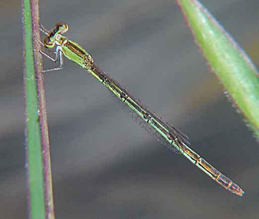 Coenagrionidae Agriocnemis femina f