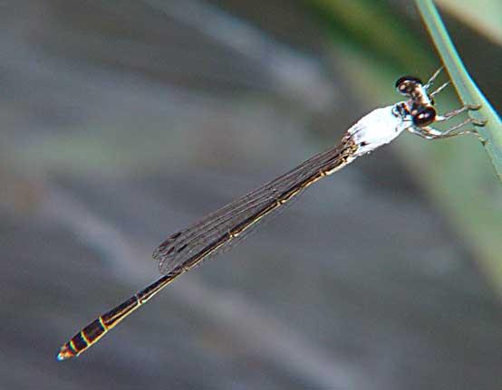 Coenagrionidae Agriocnemis femina m