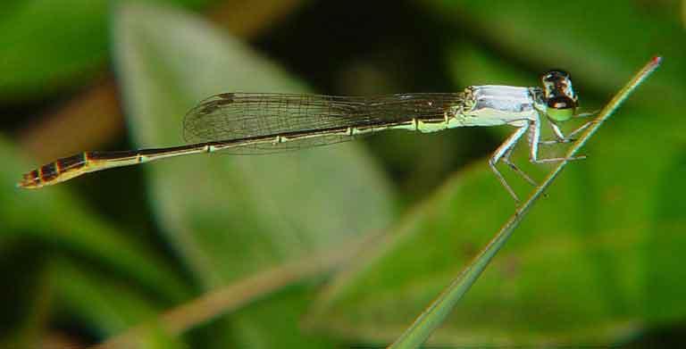 Coenagrionidae Agriocnemis femina male1