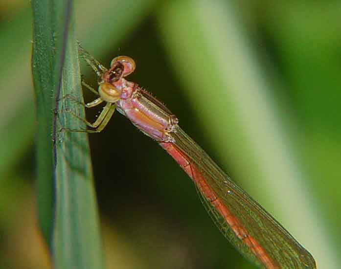 Coenagrionidae Agriocnemis sp. f