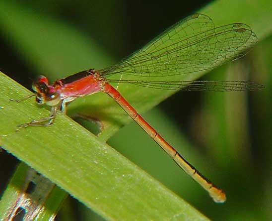 Coenagrionidae Agriocnemis sp. f 1