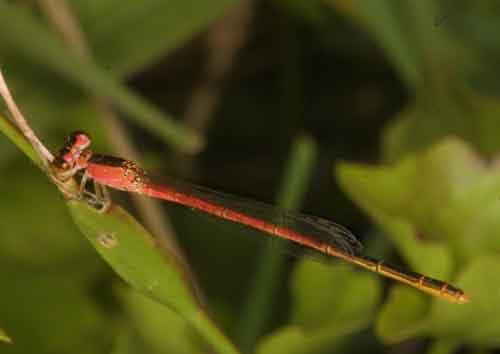 Coenagrionidae Agriocnemis sp. f 2