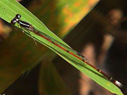 Coenagrionidae Argiocnemis rubescens rubeola  1