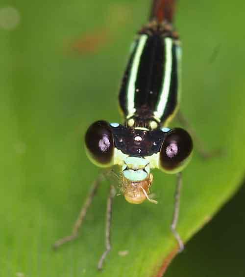 Coenagrionidae Argiocnemis rubescens rubeola