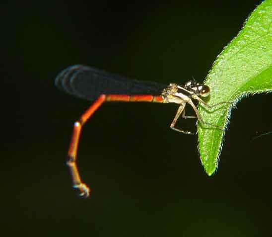 Coenagrionidae sp. f