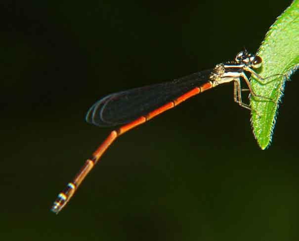 Coenagrionidae sp. f 1
