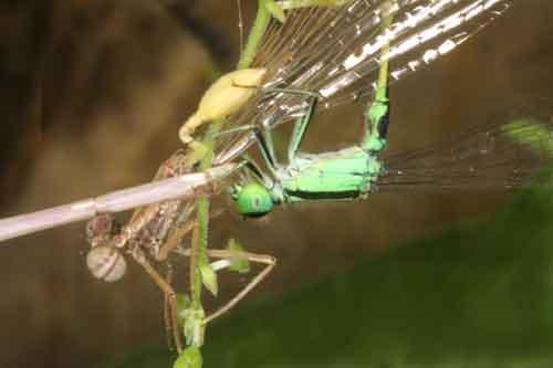 Ischnura senegalensis 2