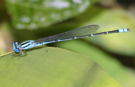 Pseudagrion microcephalum or australasia m