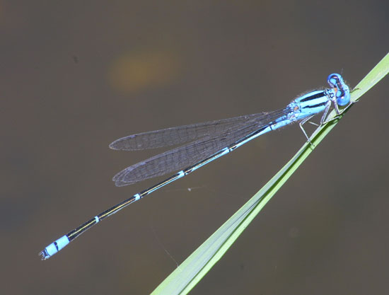 Pseudagrion microcephalum or australasia m 1