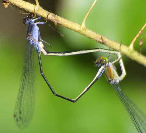 Pseudagrion pruinosum  pair