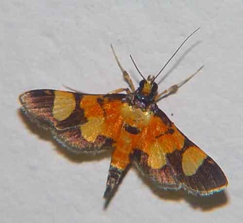 Aethaloessa calidalis (Pyraustinae)