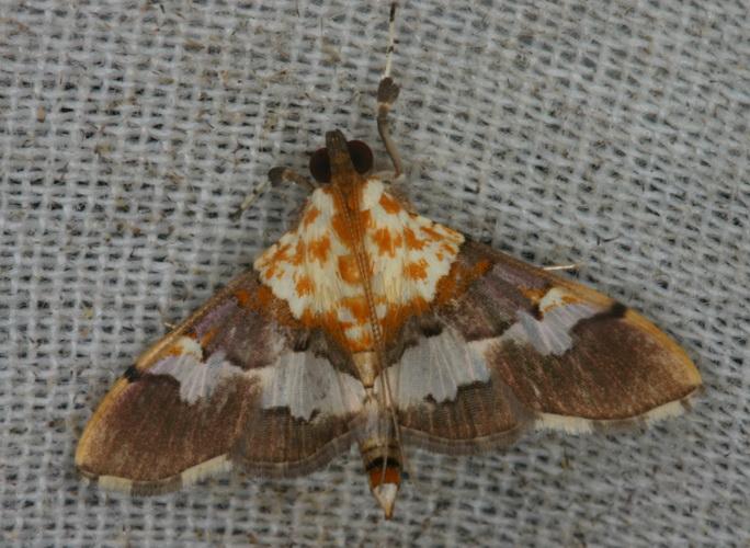 Aetholix flavibasalis