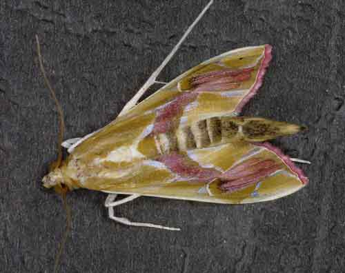 Agathodes ostentalis (Pyraustinae)