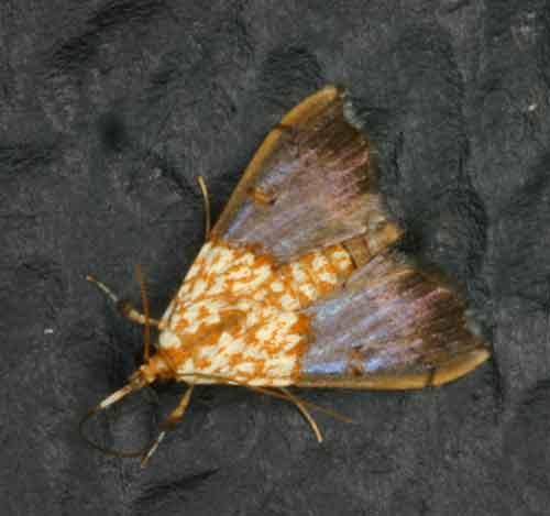 Agrotera possibly basinotata (Spilomelini)