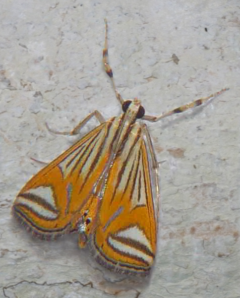 Ambia tigridalis close (Nymphulinae)