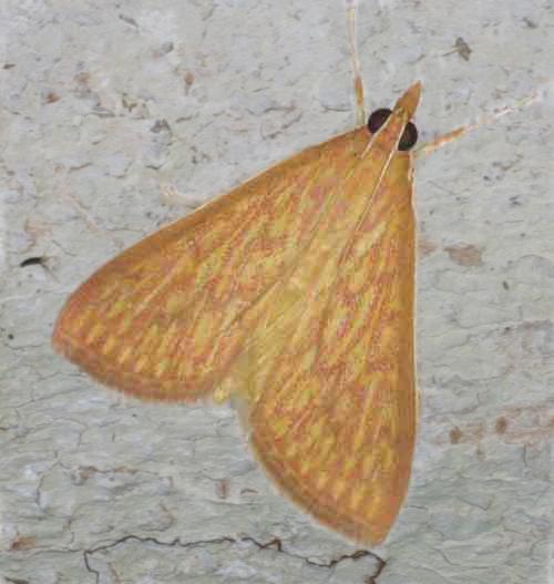 Antigastra catalaunalis (Spilomelini)