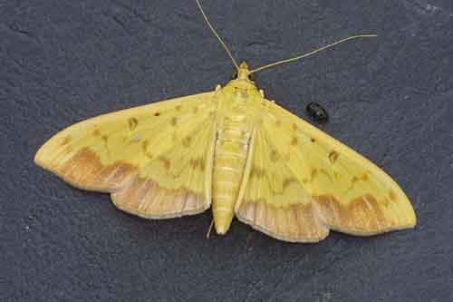 Botyodes asialis (Pyraustinae)