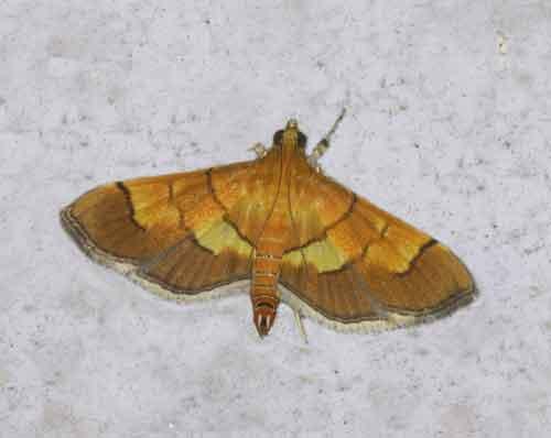 Botyodes flavibasalis (Pyraustinae)