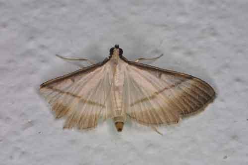 Bradina diagonalis (Pyraustinae)