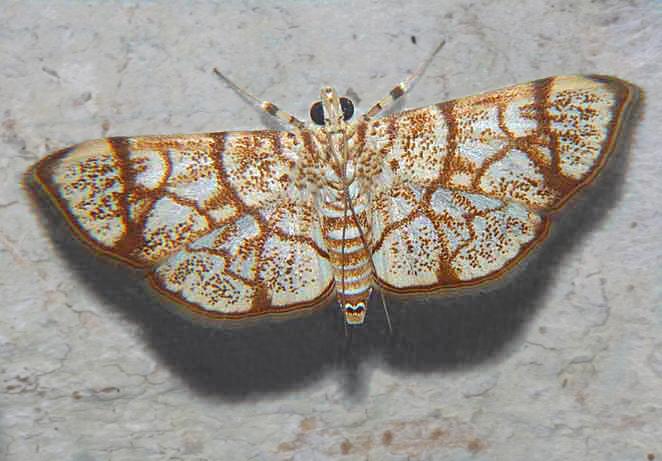 Crambidae Spilomelinae  sp
