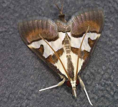 Dausara amethysta (Odontiinae)