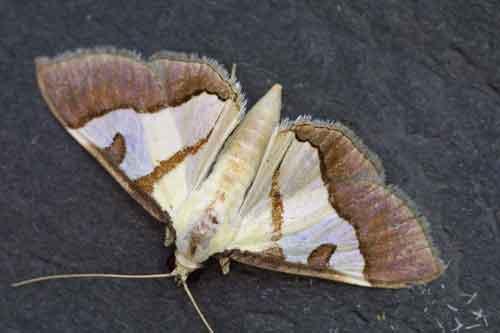 Dausara amethysta 1 (Odontiinae)