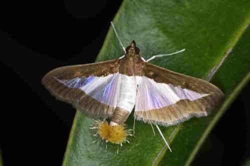 Diaphania indica ( Pyraustinae)