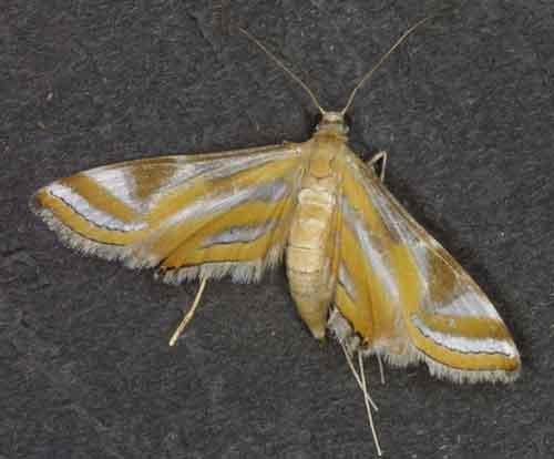 Eoophyla nigripilosa (Nymphulinae)
