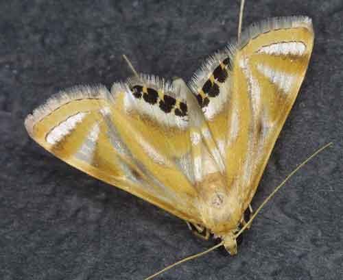 Eoophyla sejunctalis f (Nymphulinae)