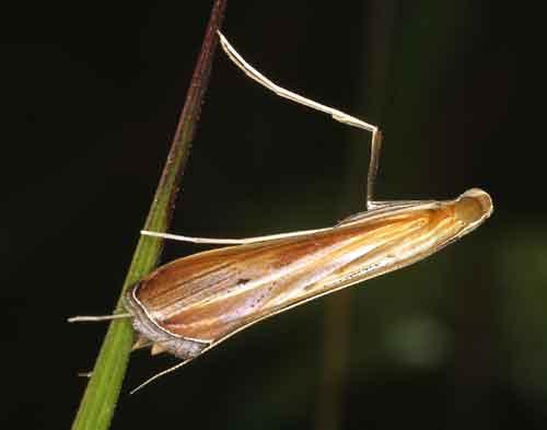 Euclasta vitralis (Pyraustinae)
