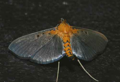 Filodes sp possibly fulvidorsalis (Spilomelinae)