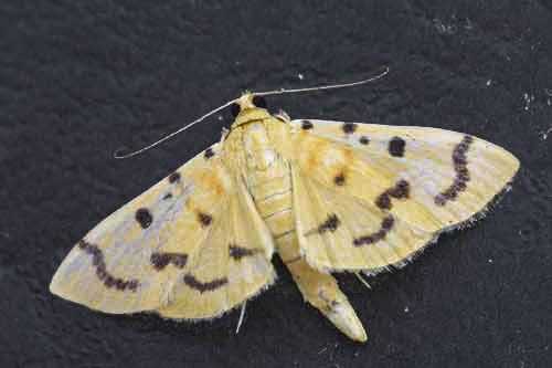 Gadessa Nilusalis 1 (Pyraustinae)