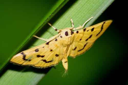 Gadessa nilusalis (Pyraustinae)