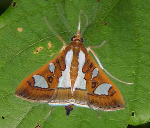 Glyphodes bivitralis Pyraustinae)