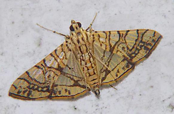 Glyphodes caesalis Pyraustinae)